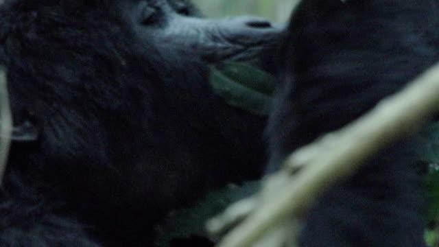 MS Mountain Gorilla climbing tree
