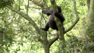 A Mountain Gorilla climbs down a tree trunk. Available in HD.