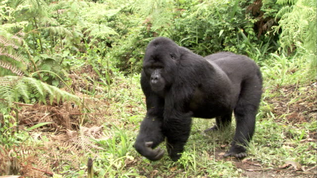 Mountain gorilla defends clearing from intruder Available in HD.