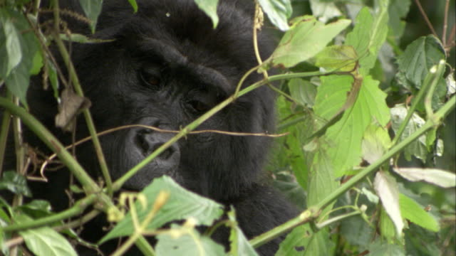 A Mountain Gorilla eats behind a thick blanket of vegetation. Available in HD.