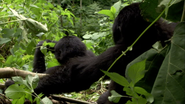 A mountain gorilla eats, then beats its chest, as another gorilla watches. Available in HD.