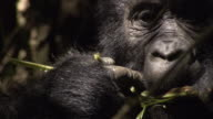 A mountain gorilla eats vegetation. Available in HD.