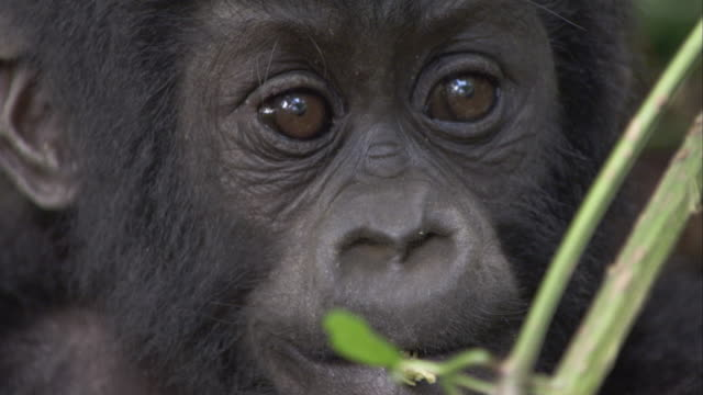 A mountain gorilla infant eats part of a plant. Available in HD.