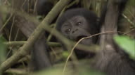 A mountain gorilla infant grabs undergrowth in forest. Available in HD.