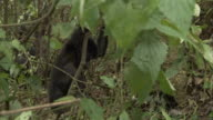 A mountain gorilla infant hangs on a vine as its mother watches nearby. Available in HD.