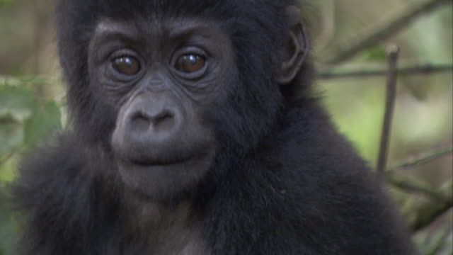A mountain gorilla infant starts to walk in the forest. Available in HD.
