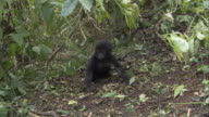 A mountain gorilla infant walks in the forest. Available in HD.