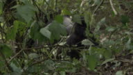 A mountain gorilla infant walks through greenery. Available in HD.
