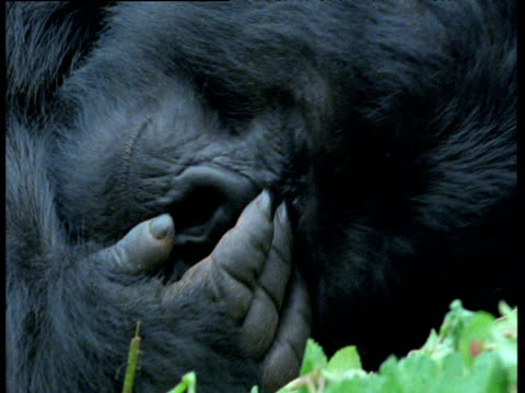 Mountain gorilla lies on its back and scratches its face