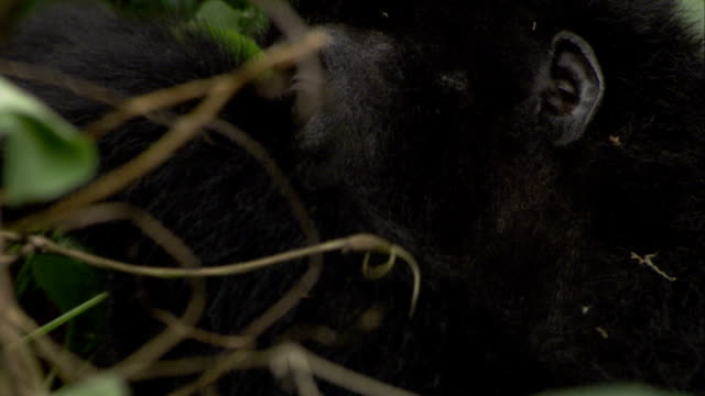 A mountain gorilla looks around as it eats leaves. Available in HD.