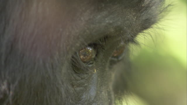 A mountain gorilla looks around. Available in HD.