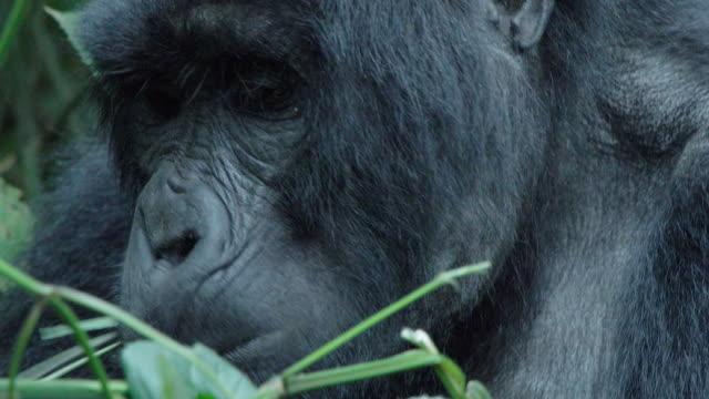 CU Mountain Gorilla mother feeding w/ baby