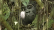 A mountain gorilla peers through foliage. Available in HD.