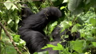 A mountain gorilla pulls on branches as it eats foliage. Available in HD.