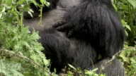 A mountain gorilla scratches its belly. Available in HD.