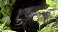 A mountain gorilla scratches its head as it lies in foliage. Available in HD.