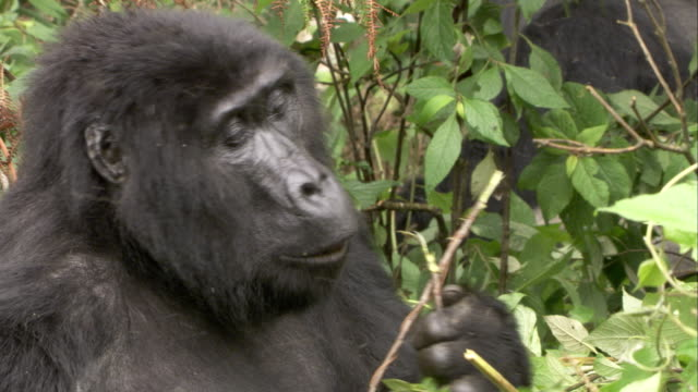 A Mountain Gorilla strips leaves and bark from a twig as it feeds. Available in HD.