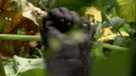 A mountain gorilla twitches its fingers. Available in HD.