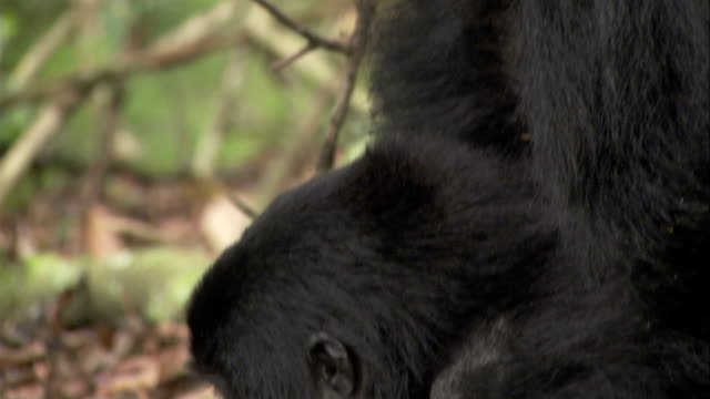 Mountain gorillas mate on a jungle floor in Uganda. Available in HD.