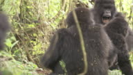 Mountain gorillas play fight. Available in HD.