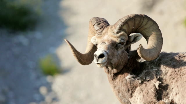 Mountain sheep in the wild