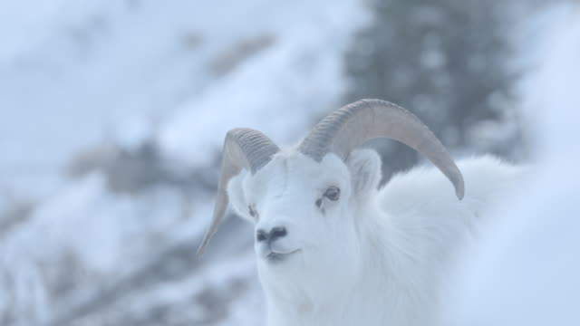 A Mountain Sheep On The Move