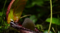 Mountain Tree shrew feeding out of pitcher plant, runs away