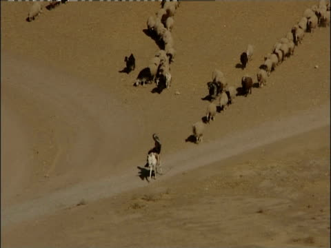 A mounted shepherd leads a herd of sheep and goats onto a desert road.