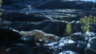 Mourning gecko (Lepidodactylus lugubris) on lava field, Hawaii