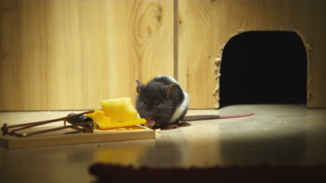 MS, Mouse eating crumbs beside mouse trap in front of mouse hole