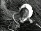1947 HA mouse grooming itself in a nest
