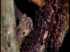 CU mouse sniffing around from under a branch, Amazon, South America