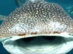 BCU Mouth of whale shark (Rhincodon typus) open wide to camera, Maldives