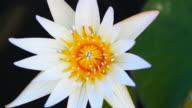 Movement of Lotus Flower in the garden