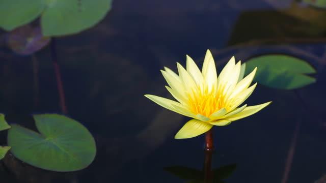 Bewegung von Lotus Blume im Garten