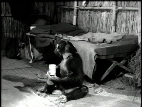 1947 WS movie scene of a chimpanzee drinking from a can
