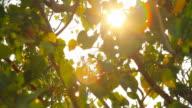 HD : Moving of Boddhi Tree Lea