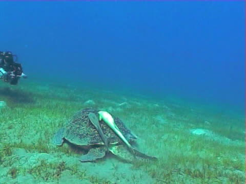 Moving shot towards a Green turtle with remoras against blue water feeding on Sea grass WS