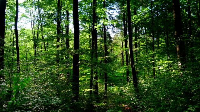 Chiare in movimento attraverso la foresta di primavera (4 k Ultra HD/HD)