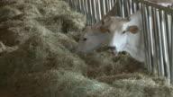 Mucche e mangiatoia