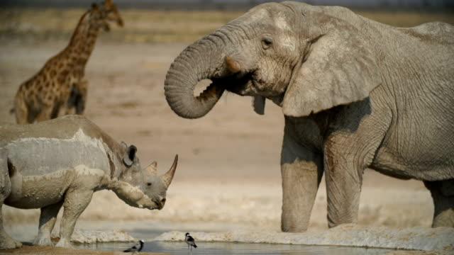 WS PAN Muddy Black Rhinoceros; African elephant and giraffes in savannah / Namibia