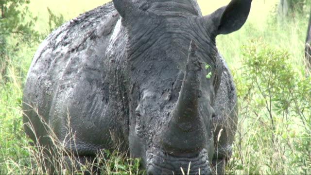 Muddy rhino at waterhole/ South Africa