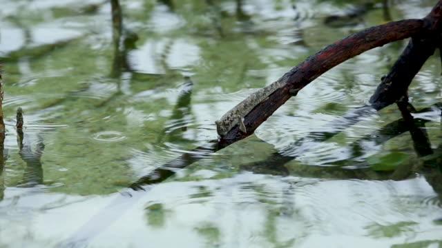 Mudskipper in mangrove, medium close