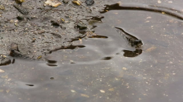 Mudskippers get washed up by tidal water