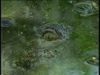 Mugger crocodile looks at camera while submerging under clear water, Laccadive Islands