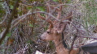 Mule Deer Buck Molting