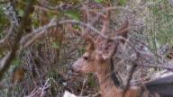 Mule Deer Buck Molting