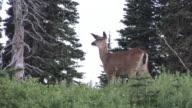 MS, LA, Mule deer (Odocoileus hemionus) grazing on meadow, Mount Rainier National Park, Washington, USA