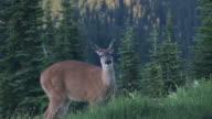 MS, Mule deer (Odocoileus hemionus) grazing on meadow, Mount Rainier National Park, Washington, USA