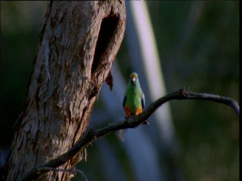 Mulga parrot emerges from nest hole in tree, Hattah Kulkyne National Park, Victoria, Australia